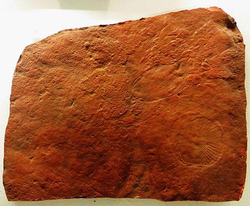Dickinsonia specimen