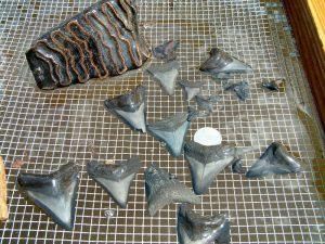 Large shark and mammoth teeth