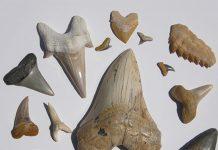 Various fossilized shark teeth