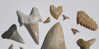 Various fossilized shark teeth