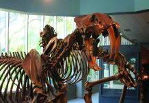 Saber-tooth fossil