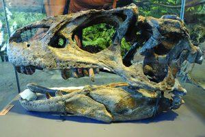 Fossilized skull of Allosaurus