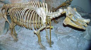Pilocene Epoch Hagerman horse fossil