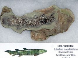 lobe-finned fish