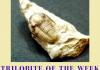 MAUROTARIAN axitiosum