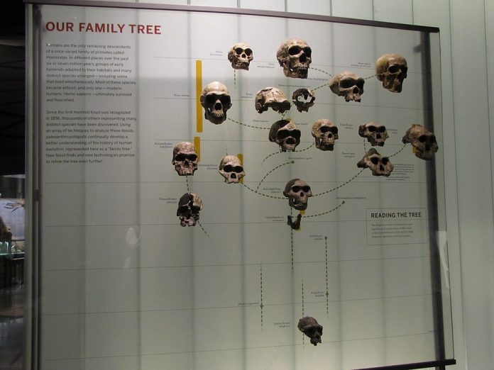 Hominid tree
