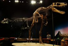 "Juvenile T-rex fossil ""Jane"""