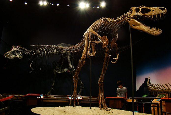 Juvenile T-rex fossil